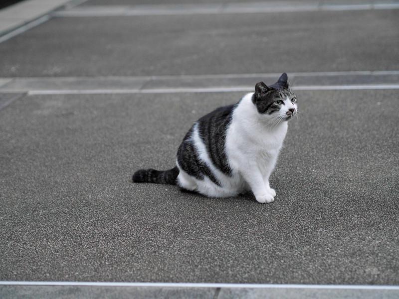 夕暮れの白キジ猫1