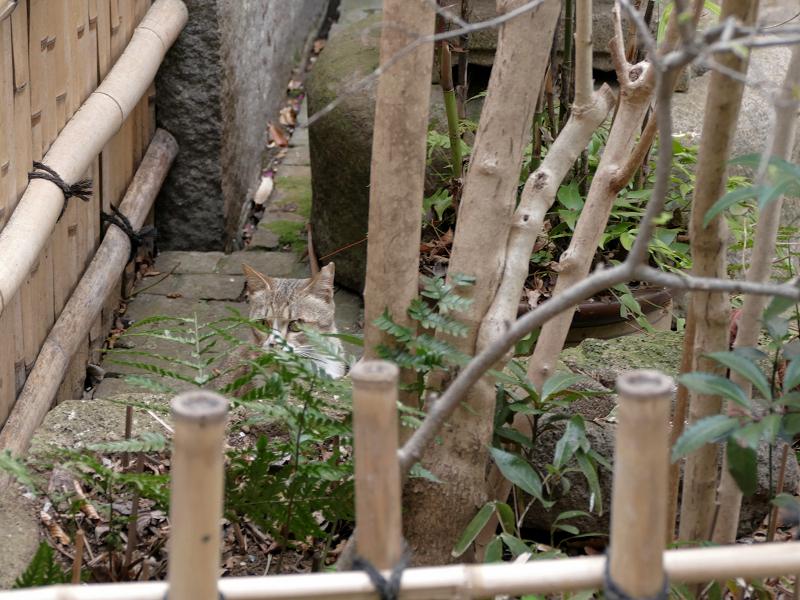 小料理屋の庭先猫1