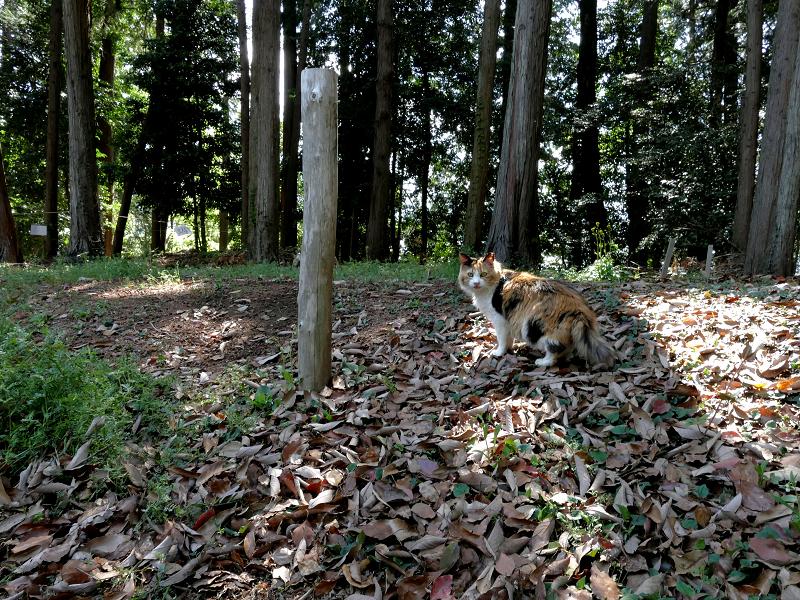 落ち葉と三毛猫1
