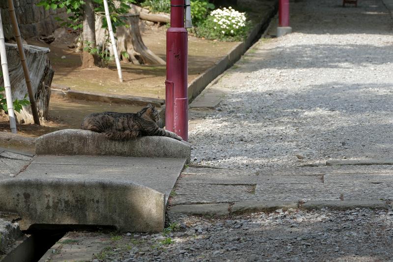 神社参道のキジトラ猫1