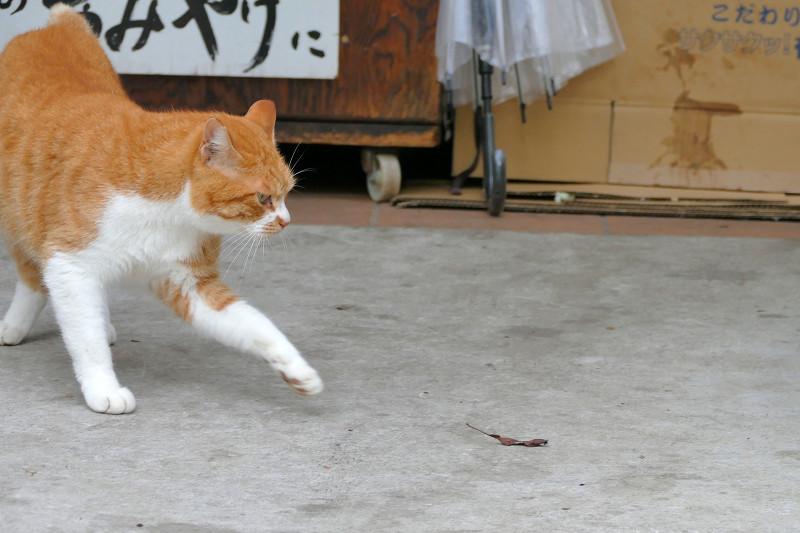 前伸び茶白猫1