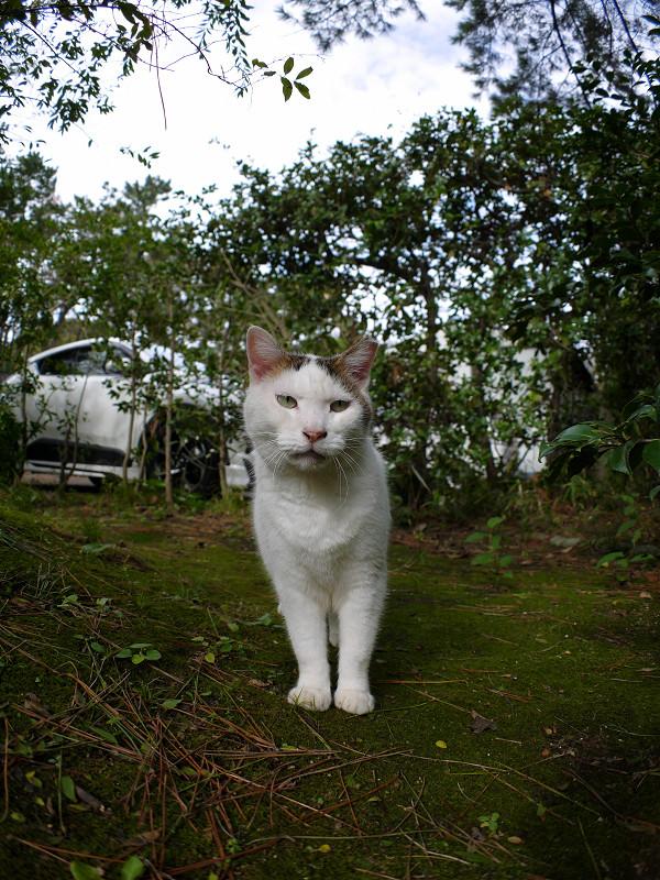 茂みから出て来た白キジ猫2