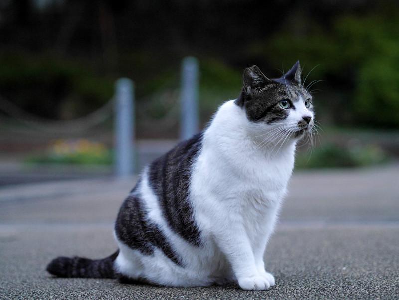 夕暮れの白キジ猫2