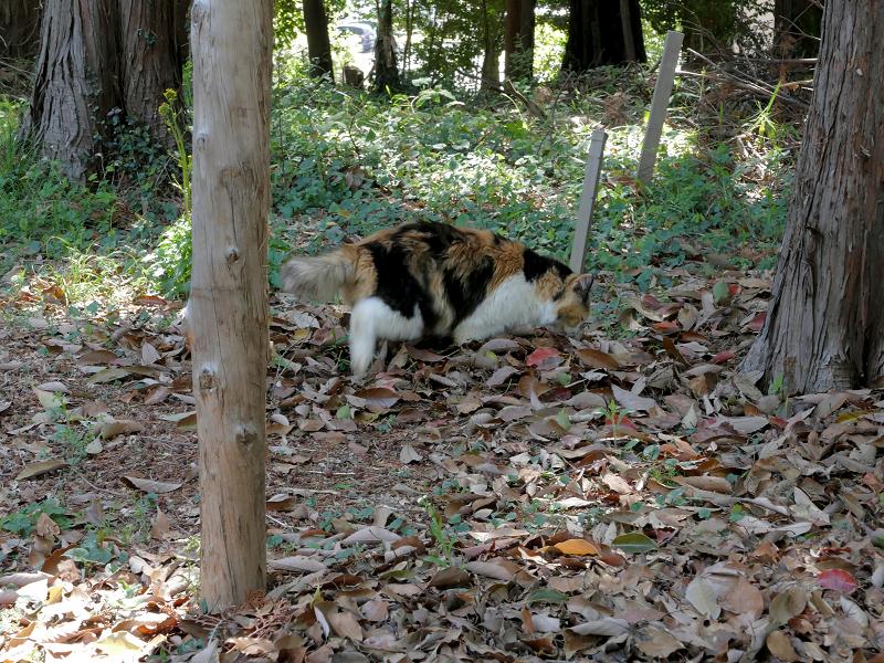 落ち葉と三毛猫2