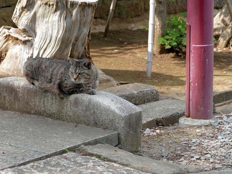 神社参道のキジトラ猫2