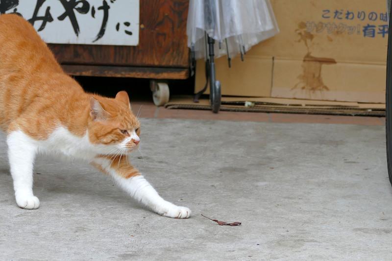 前伸び茶白猫2