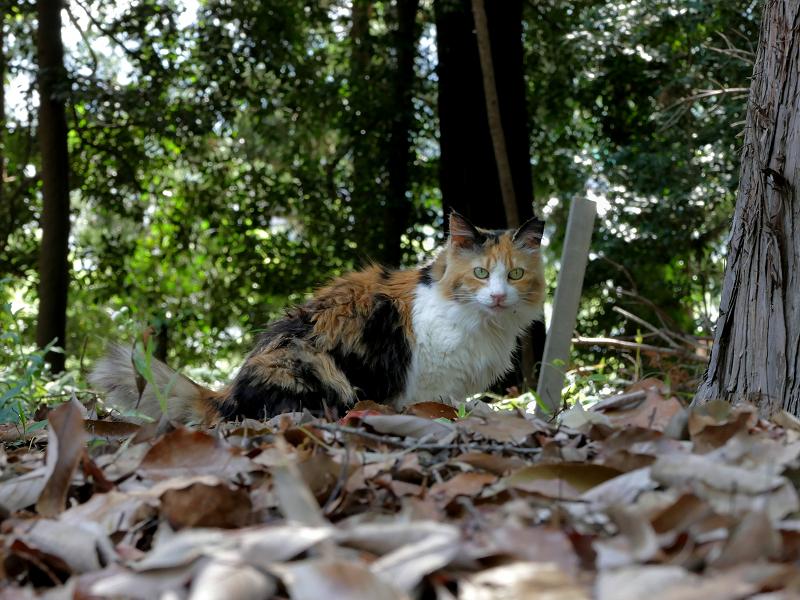 落ち葉と三毛猫3