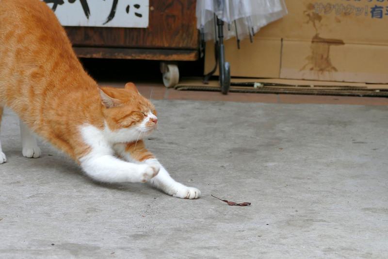 前伸び茶白猫3