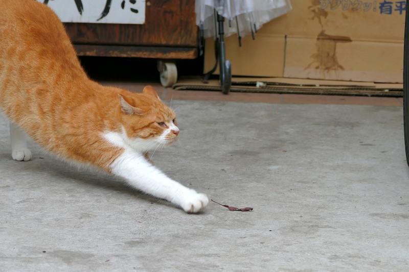 前伸び茶白猫4