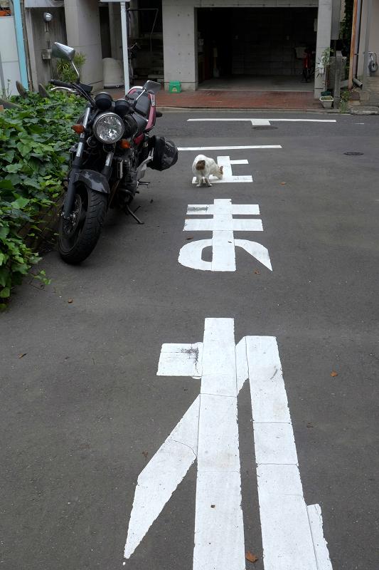 止まれと白キジ猫1