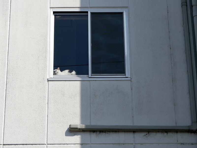 白い壁と窓ガラスと三毛猫1