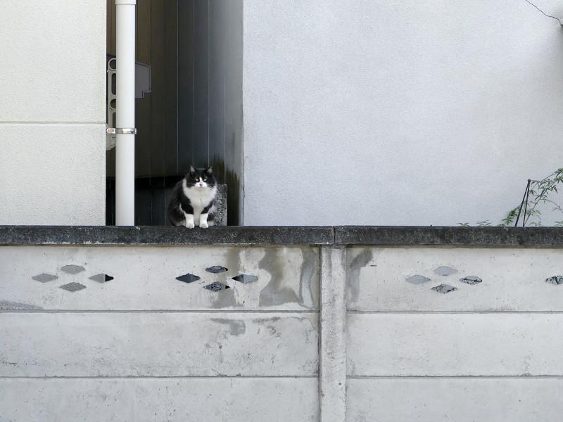 ブロック塀と毛長の黒白猫1
