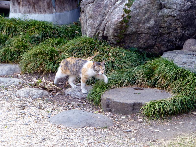 若い三毛猫と大人の三毛猫1