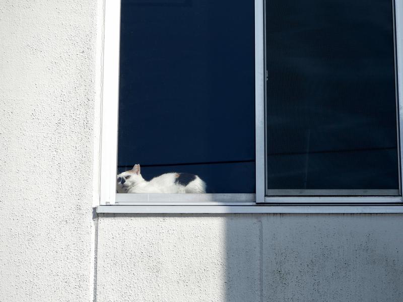 白い壁と窓ガラスと三毛猫2