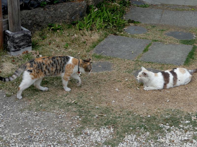 若い三毛猫と大人の三毛猫2