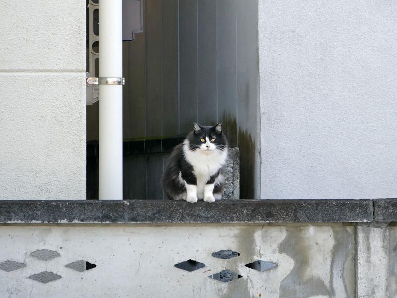 ブロック塀と毛長の黒白猫2