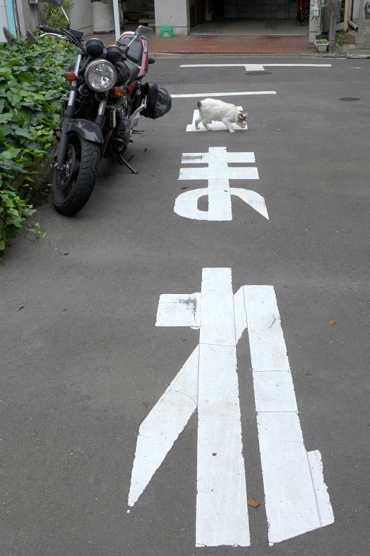 止まれと白キジ猫3