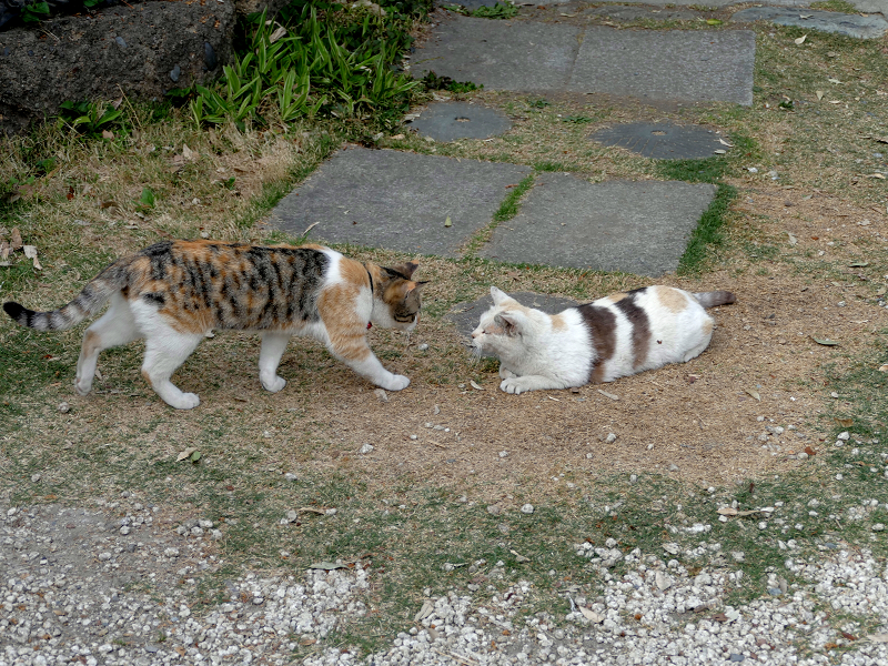 若い三毛猫と大人の三毛猫3
