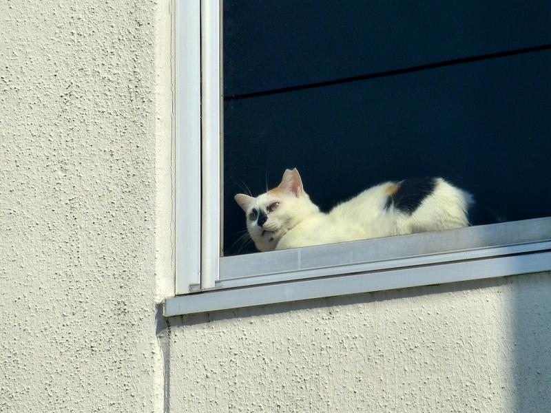 白い壁と窓ガラスと三毛猫3
