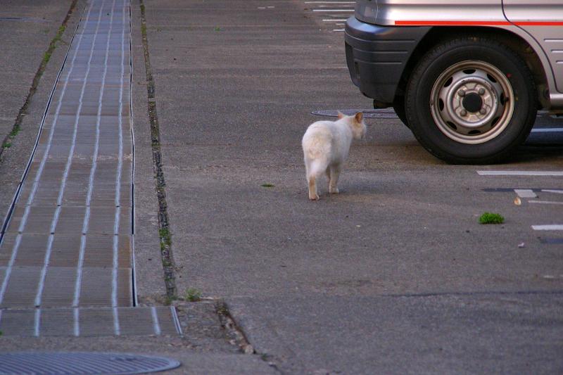 駐車場を歩く猫1