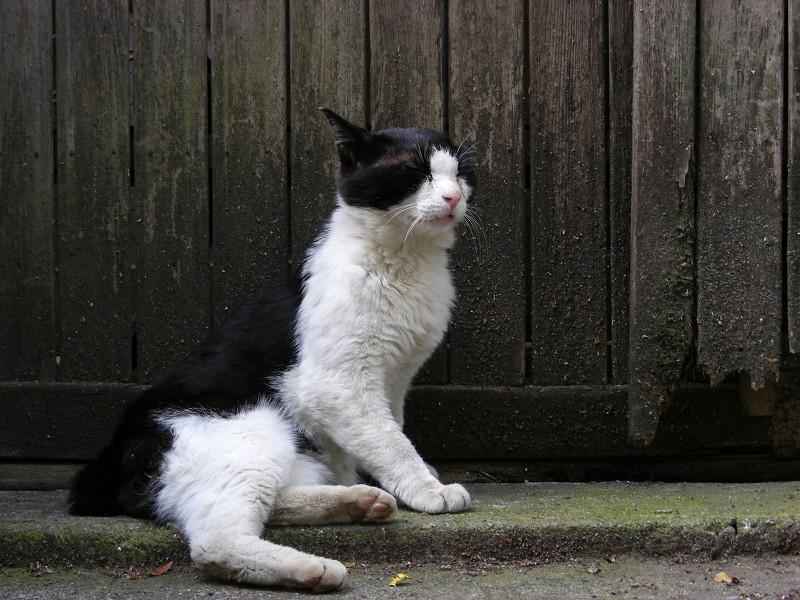 門扉前の黒白猫