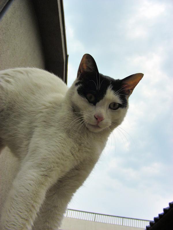 屋根の上で伸びをした白黒猫1