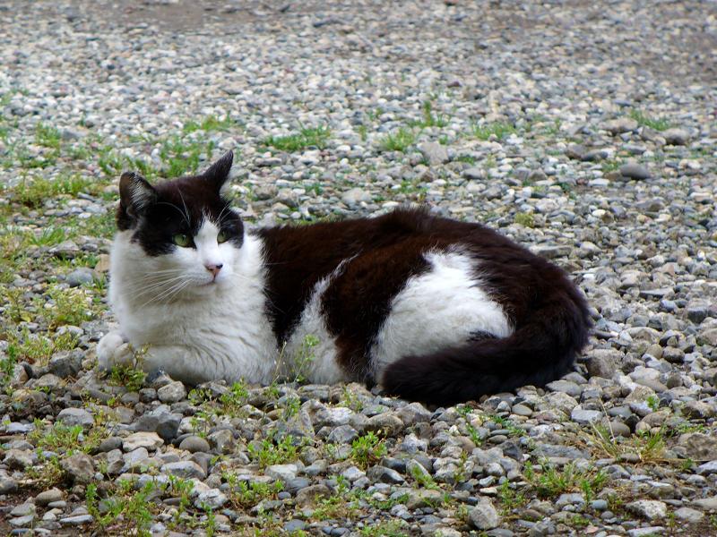 砂利石境内の黒白猫1