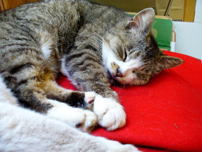 緋毛氈の上で寝ているキジ白猫1
