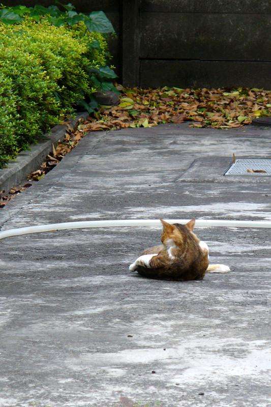 駐車場で毛づくろいするキジ白猫1