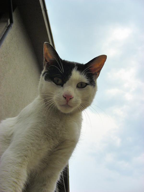 屋根の上で伸びをした白黒猫2