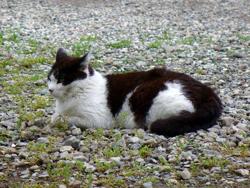 砂利石境内の黒白猫2