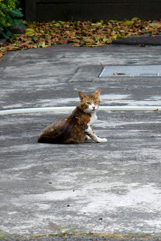 駐車場で毛づくろいするキジ白猫2