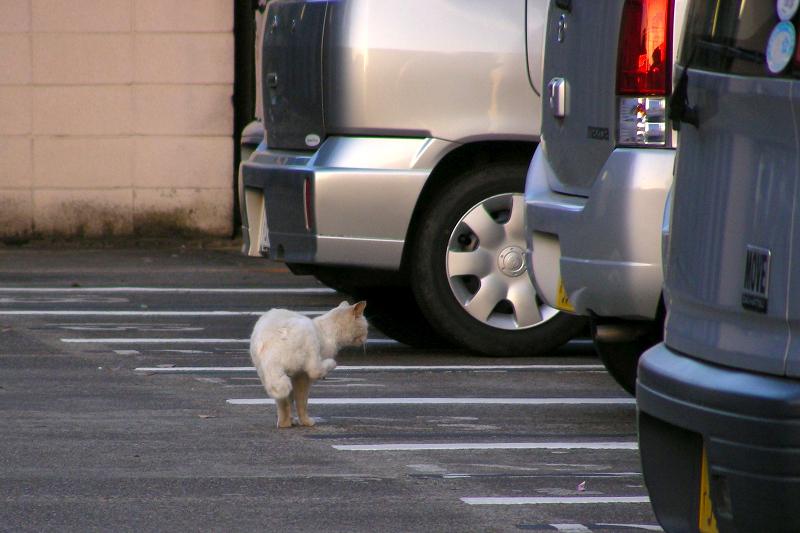 駐車場を歩く猫3