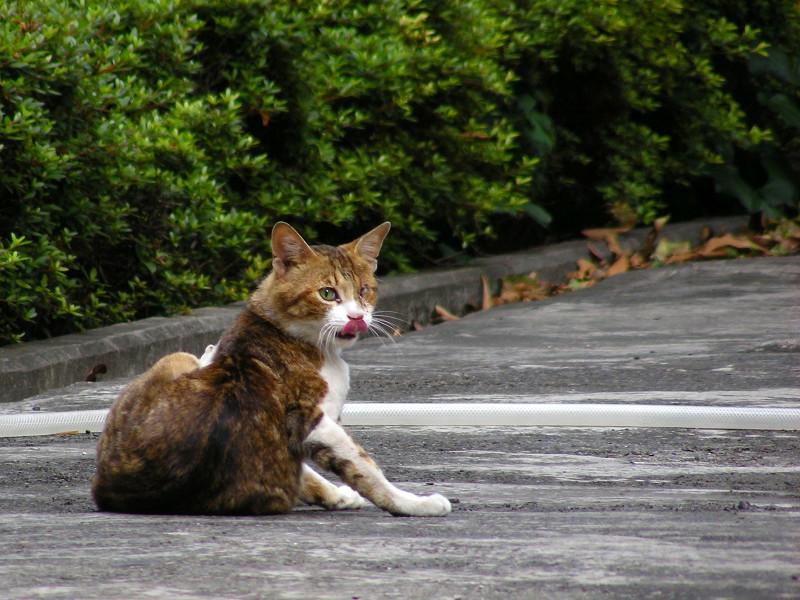 駐車場で毛づくろいするキジ白猫3