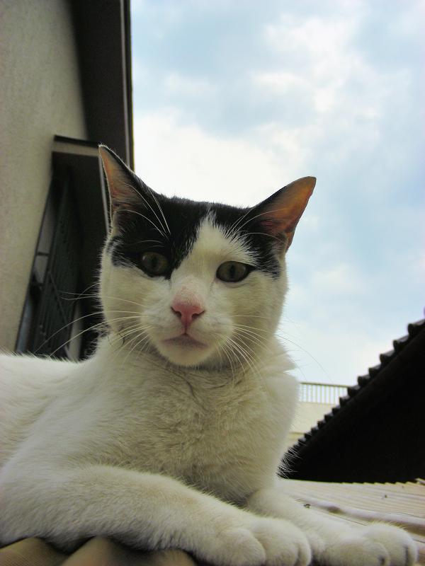 屋根の上で伸びをした白黒猫3