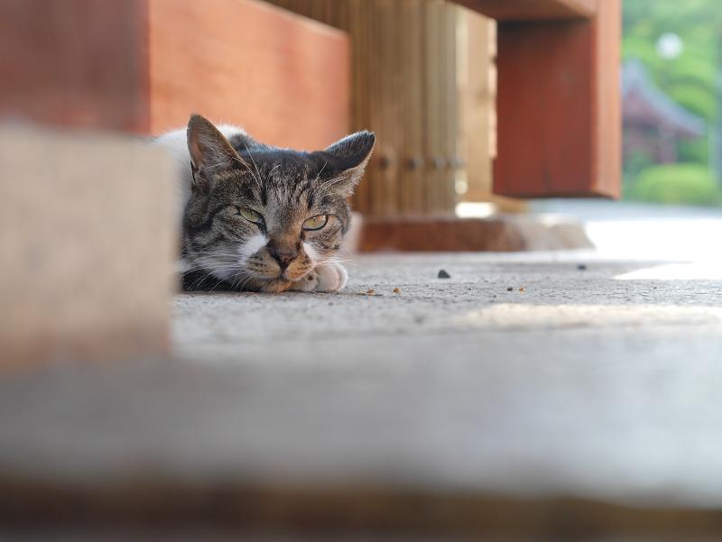 総門で寝ているキジ白猫1