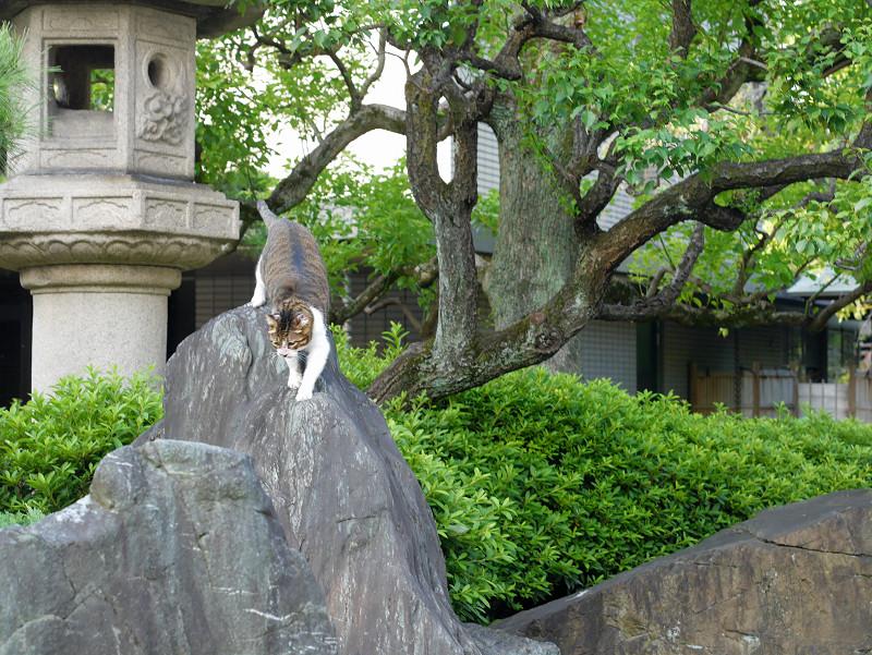 岩の上を歩くキジ白猫