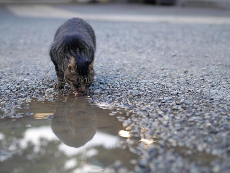 雨水を飲むキジトラ猫1