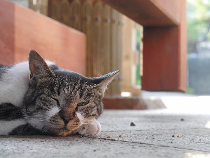 総門で寝ているキジ白猫2