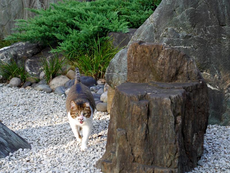 砂利の上を歩くキジ白猫1