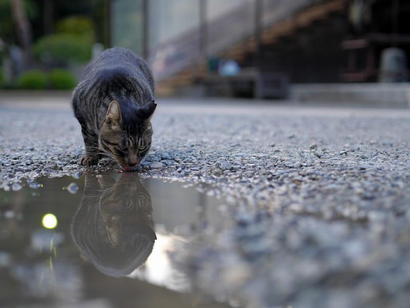 雨水を飲むキジトラ猫2
