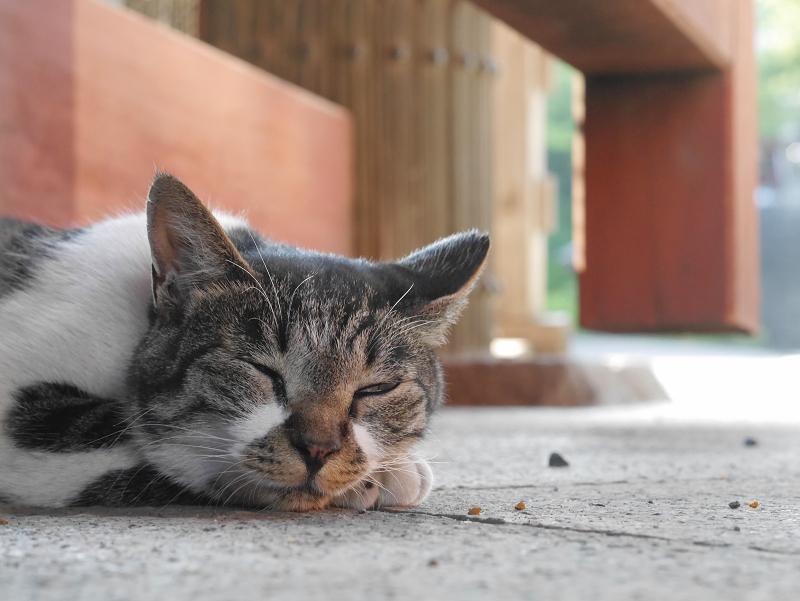 総門で寝ているキジ白猫3