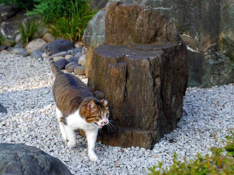 砂利の上を歩くキジ白猫2