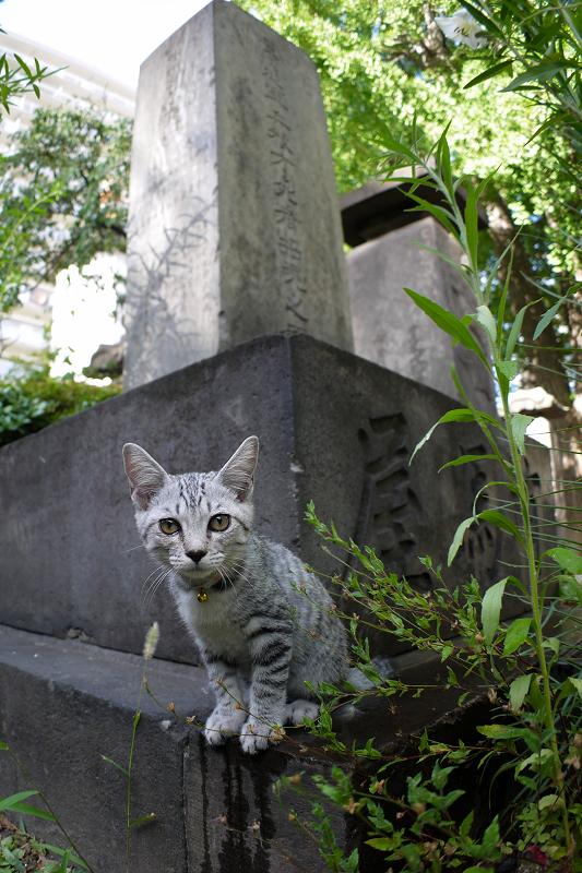 石碑から興味津々のサバトラ仔猫1