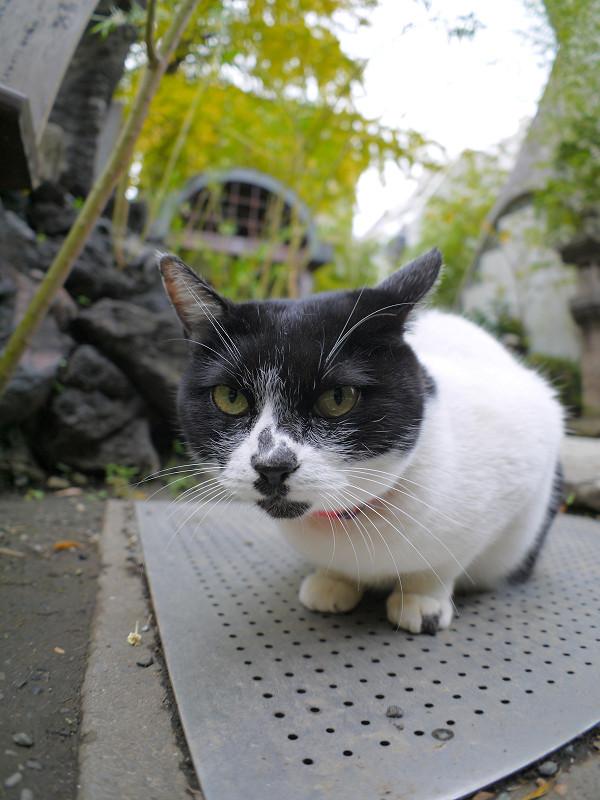 鉄板と白黒猫1
