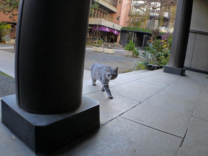 歩き寄るサバトラ猫1