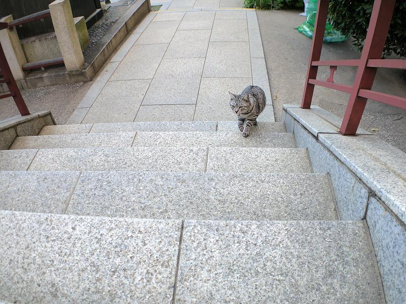 階段を再び上がるサバトラ猫1