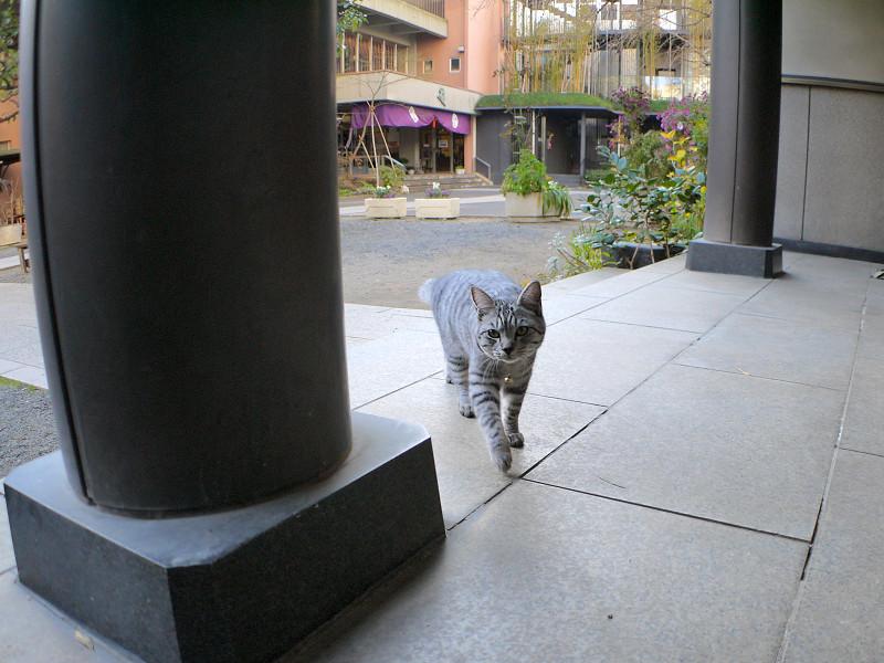 歩き寄るサバトラ猫2