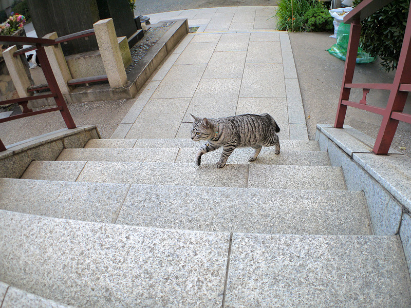 階段を再び上がるサバトラ猫2
