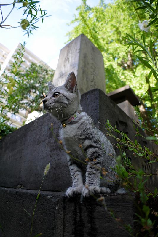 石碑から興味津々のサバトラ仔猫3